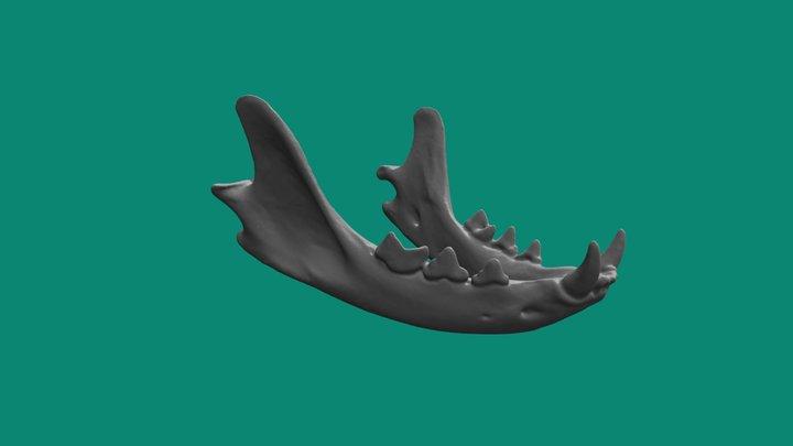 Domestic Cat Jaw 3D Model