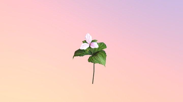 Trillium (Trillium grandiflorum) - pollinated 3D Model