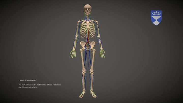 Lymphatic system 3D Model