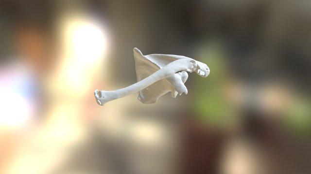 Caso PS Reversa - Escapula 3D Model