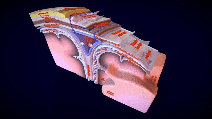Brain meninges labelled detailed 3D Model