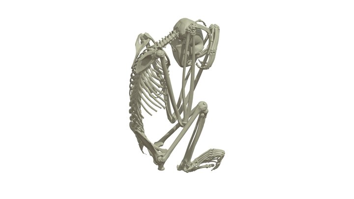 CT Based Adult Siamang Skeleton 3D Model
