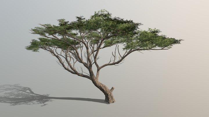 Medium Poly Broadleaf Acacia Tree 3D Model