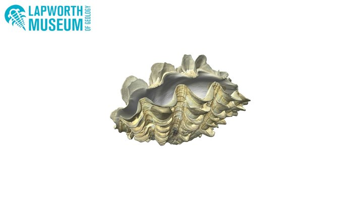 Tridacna maxima (small giant clam) BIRUG 19135 3D Model