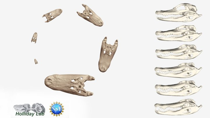 Alligator Ontogeny 3D Model