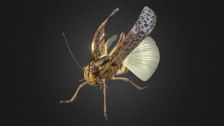 Locusta migratoria 3D Model