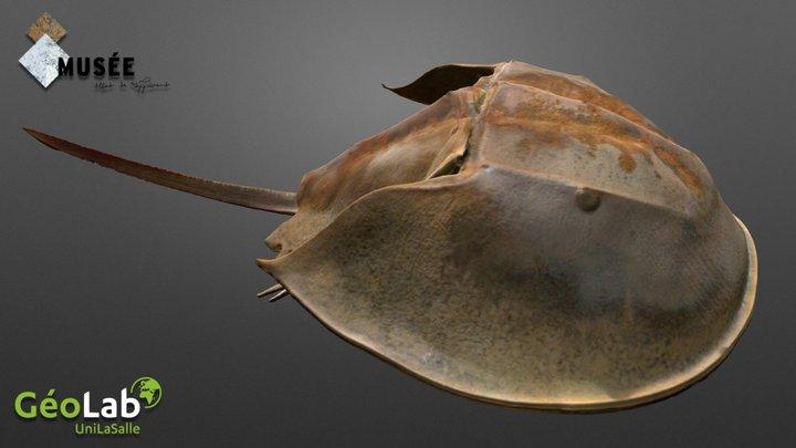 Horseshoe Crab 3D Model