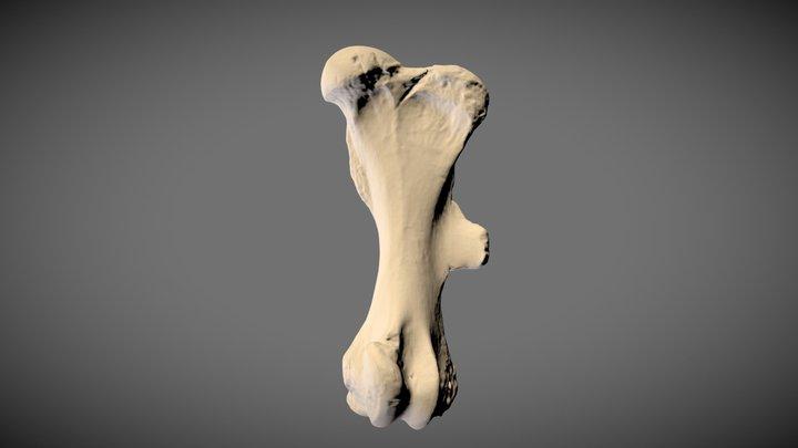 Woolly rhino femur 3D Model