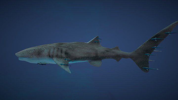 Whale Shark With Remoras 3D Model