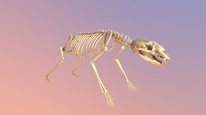 Honey Badger Skeleton 3D Model