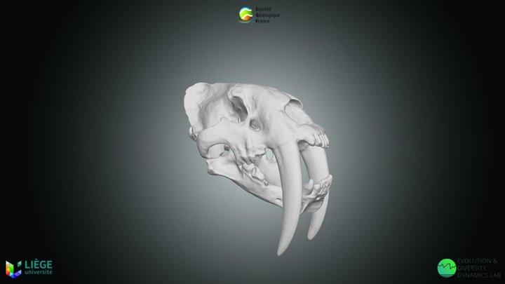 Félin à dent de sabre, Smilodon fatalis 3D Model