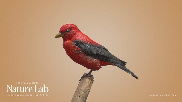 Scarlet Tanager 3D Model
