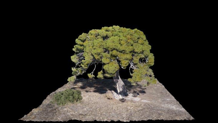 Pino de la Valdenavarro 3D Model
