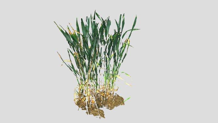 Wheat Field | 3D & RGB | Field Phenotyping 3D Model