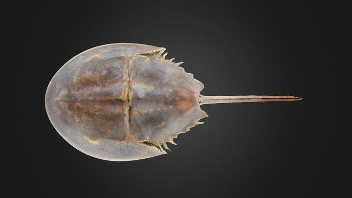 Horseshoe crab: Limulus polyphemus (PRI) 3D Model