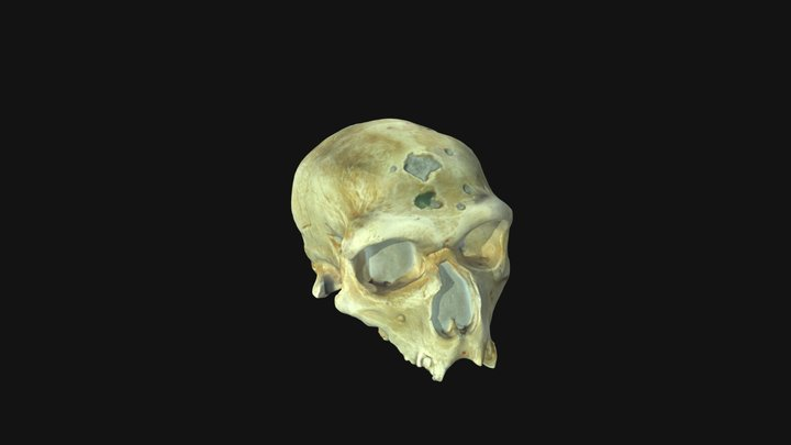 Homoneanderthalensis 3D Model