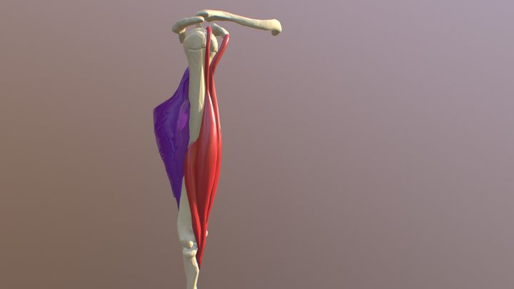 Biceps and Triceps 3D Model