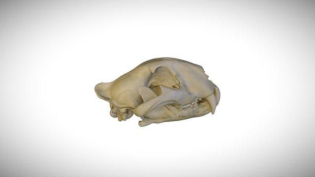 Tiger / CAS:MAM:12158 3D Model
