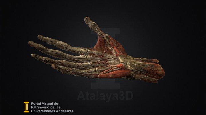 Modelo anatómico de mano derecha humana 3D Model