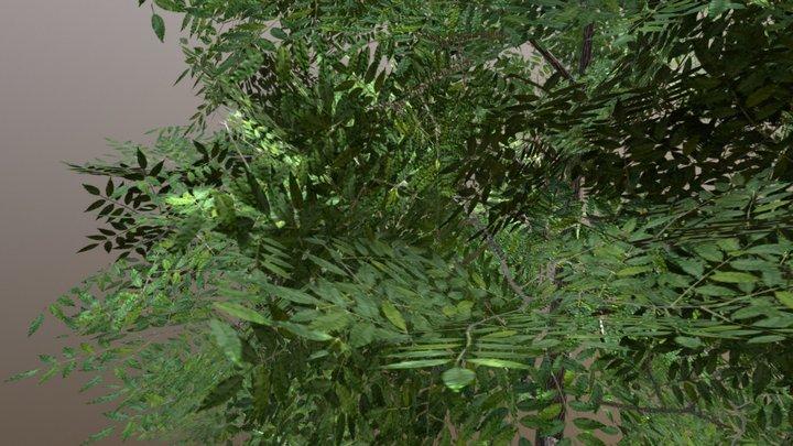 green ash 3D Model