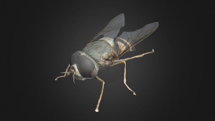 Syrphus ribesii 3D Model