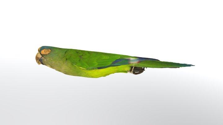 aratinga canicularis clarae4343 3D Model