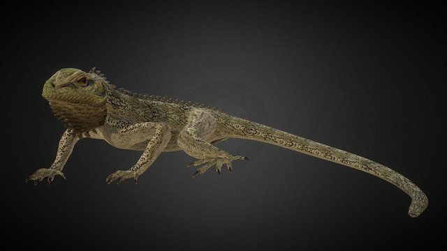 Iguana Rigged (low poly) 3D Model