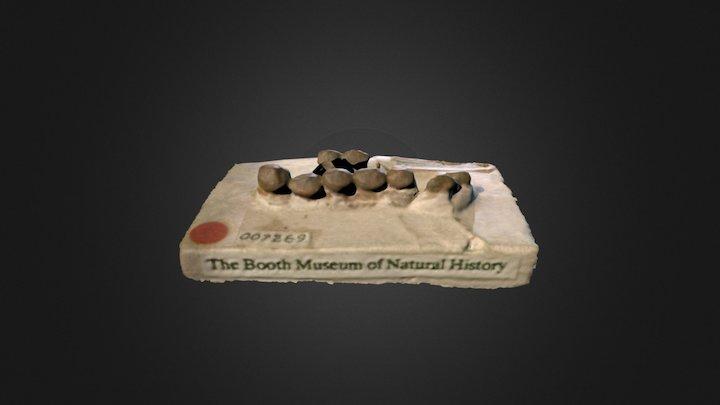 Gyrodus dixoni (BMB 007269) 3D Model