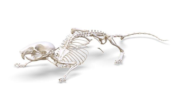 Peromyscus maniculatus (MSB:Mamm:331339) 3D Model