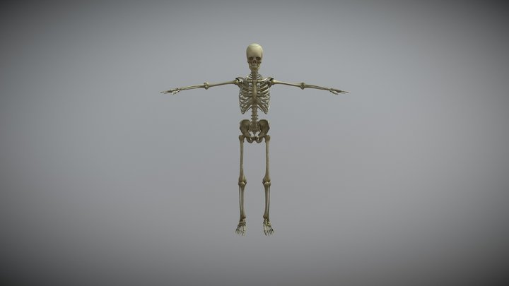 male skelet anatomia 3D Model