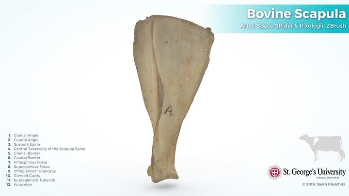 Bovine Scapula (left) 3D Model