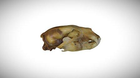 Polar bear / CAS:MAM:10848 3D Model