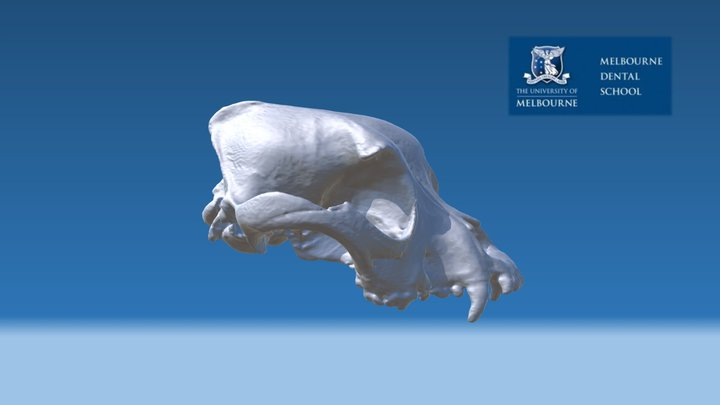 Canine (Dog) skull with malocclusion 3D Model