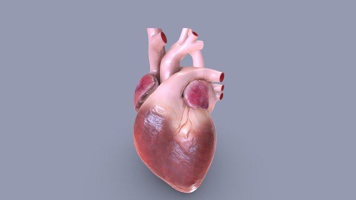 Child's Heart 3D Model