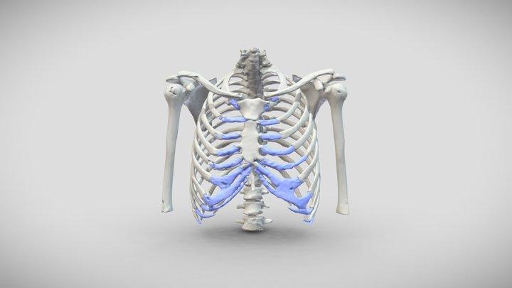 Normal Chest 3D Model