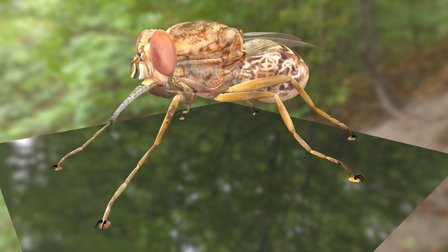 Tsetse Fly Textured 3D Model