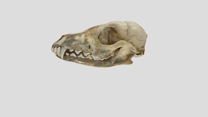 UWYMV 5842, Vulpes velox - Complete Skull 3D Model