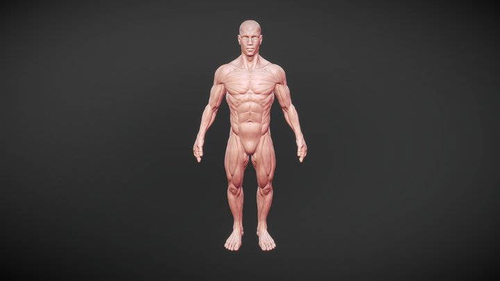 Muscle anatomy 3D Model