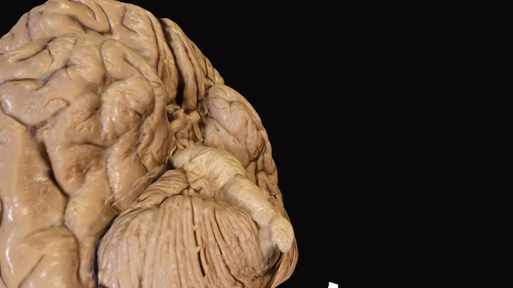Cerebro Base 3D Model