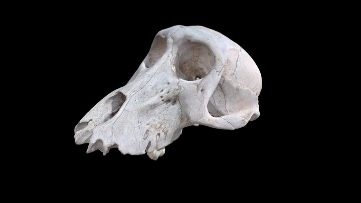 Baboon Skull 3D Model