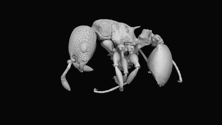 Nesomyrmex cataulacoides 3D Model