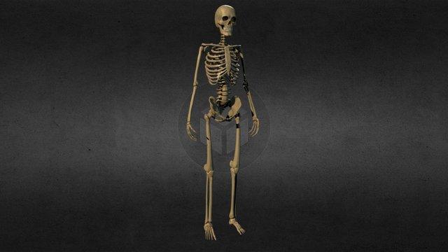 Ecorche - Skeleton 3D Model
