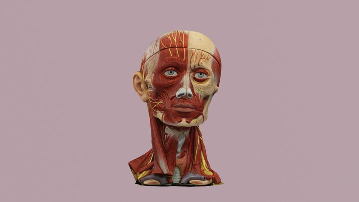 Anatomical Face 3D Model