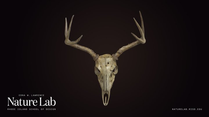 White-Tailed Deer Skull With Antlers 3D Model