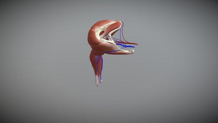 Otot Lengan 3D Model