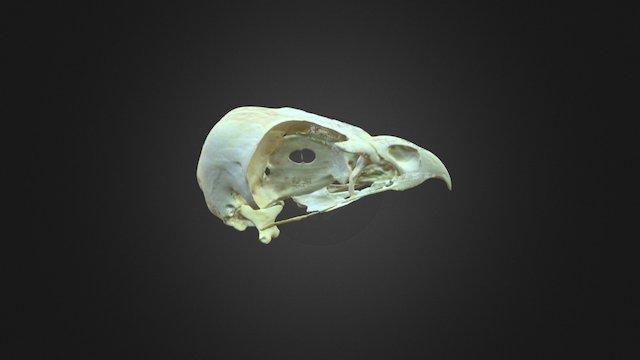 Buteo buteo, skull 3D Model