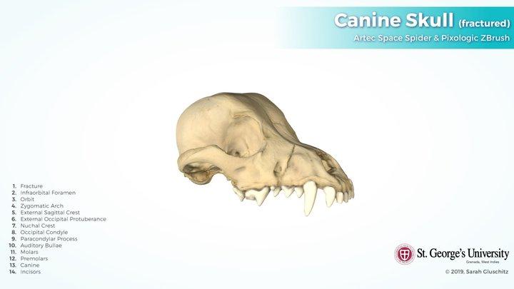 Canine Skull (fractured) 3D Model