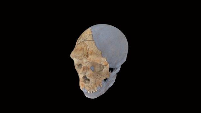 Neanderthal Skull 3D Model