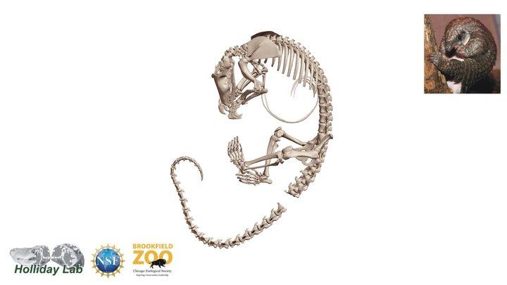 African White-bellied Pangolin Skeleton 3D Model