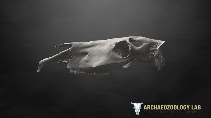 Khushuutiin Gol Deer Stone Horse Cranium 3D Model